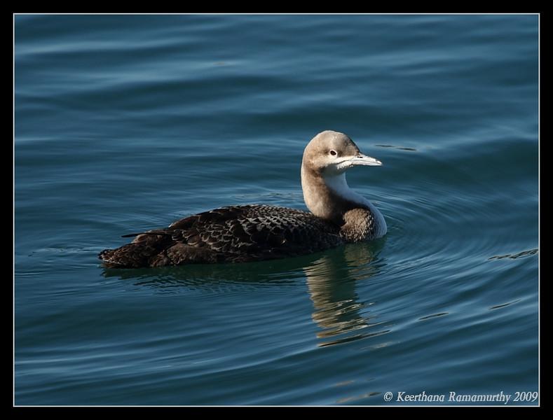 Pacific Loon, Oceanside Harbor, San Diego County, California, January 2009