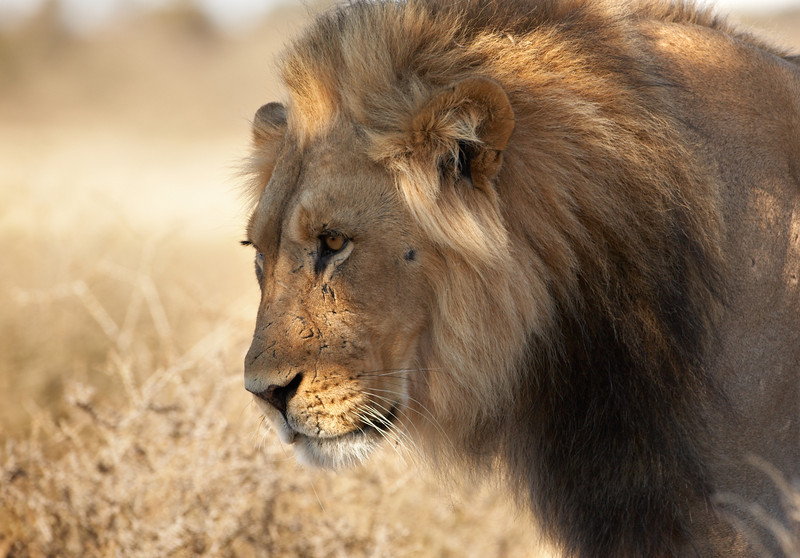 001 Lion - 4981.jpg