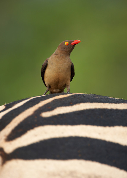 086 Red Billed Oxpecker - 1630.jpg
