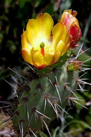 -11- Цветы  Калифорнии.        Flowers & Cactus