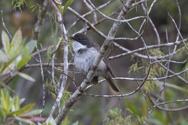 236 Nesospingidae - Puerto Rican Tanager