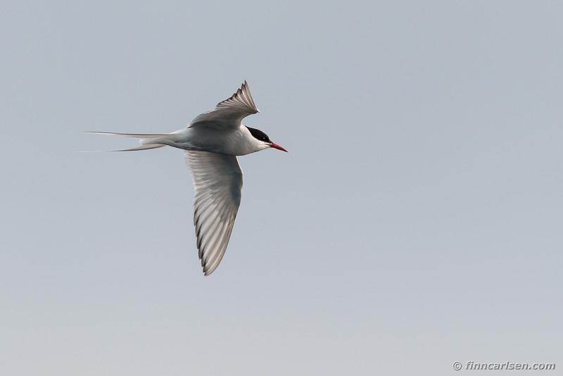 Havterne (Sterna paradisaea - Arctic tern)