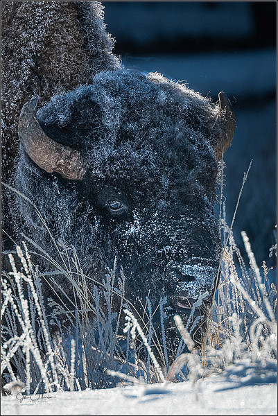JM8_5335 Frosted Bison cropped LPW.jpg