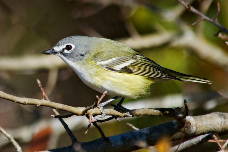 Vireo - Blue-headed - Apalachicola National Forest, FL