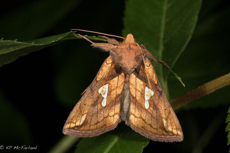 Putnam's Looper (Plusia putnami)
