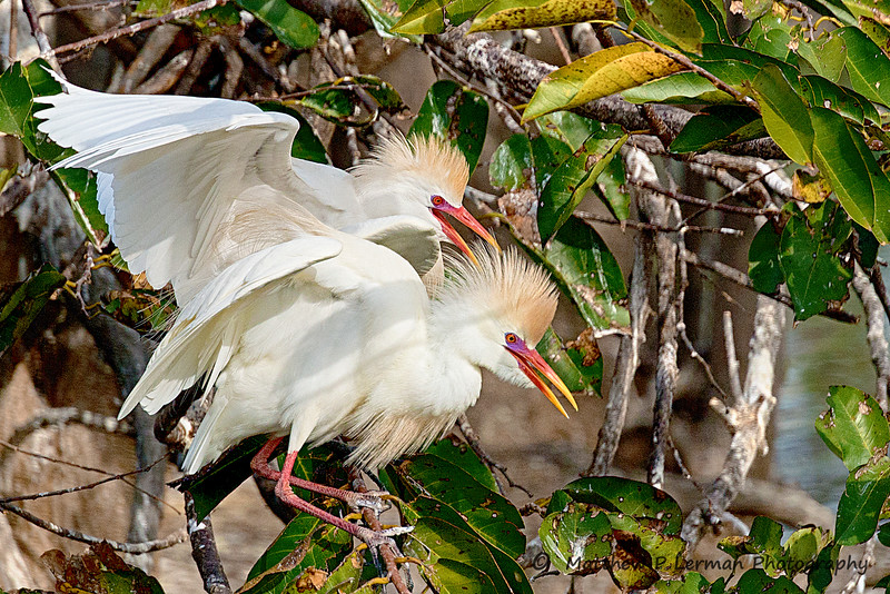 Cattle Egrets #923