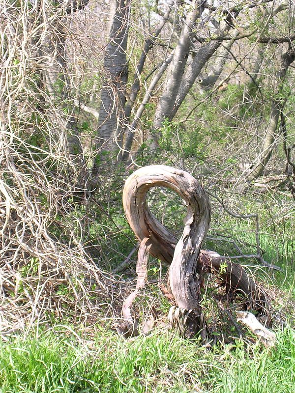 Left without support, this huge old grapevine has twisted itself into a figure-eight.