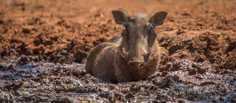 Warthog in mud, Mokala National Park