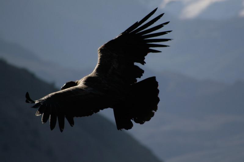 Condor, Patagonia.jpg