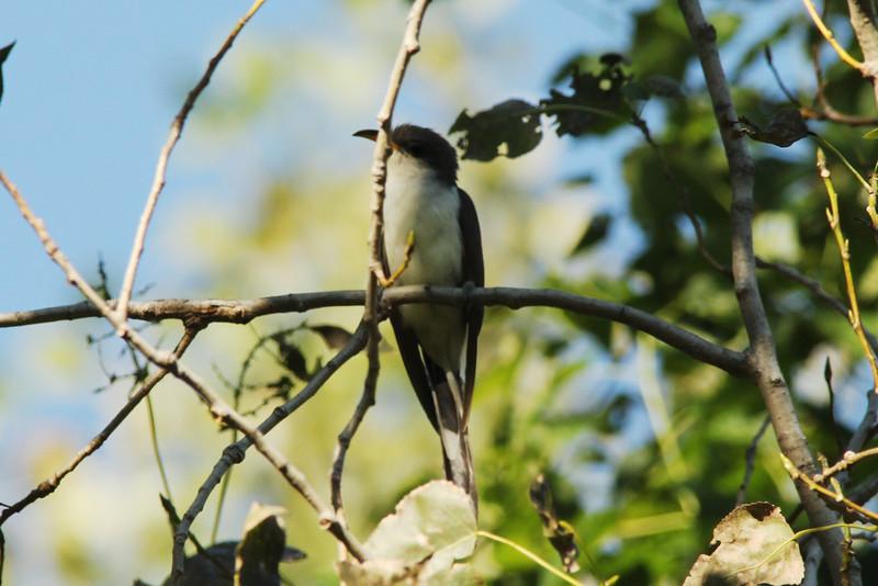 Yellow-billed Cuckoo @ Columbia Bottom CA
