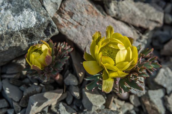 Haast's buttercup - Ranunculus haastii