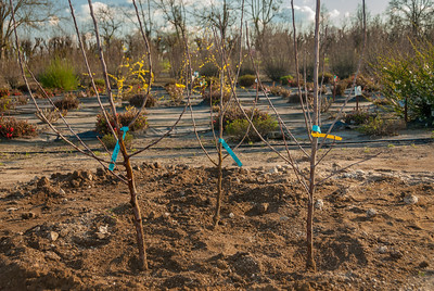 Multiple Apple Trees in the Space of One
