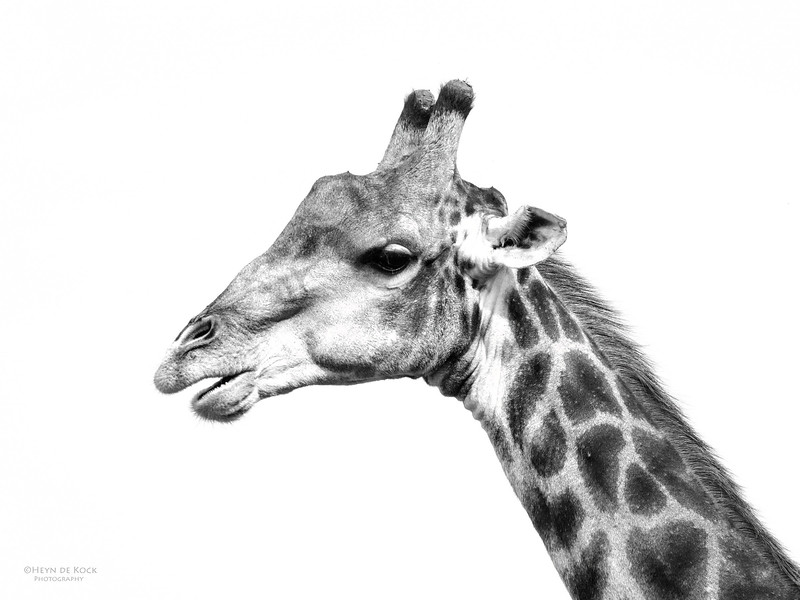 Giraffe, Willem Pretorius NR, FS, SA, Dec 2014-2bw.jpg
