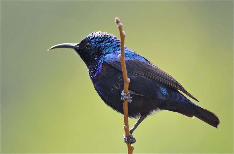 What colors.!.... , Purple Sunbird ( breeding plumage )