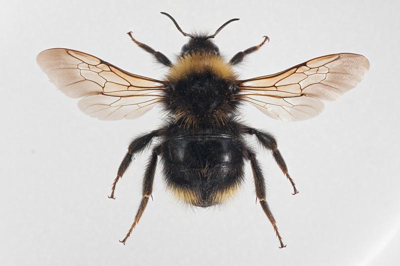 2012-06-11-flavidus dronning12.jpg