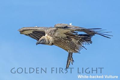 White-backed Vulture, Kenya