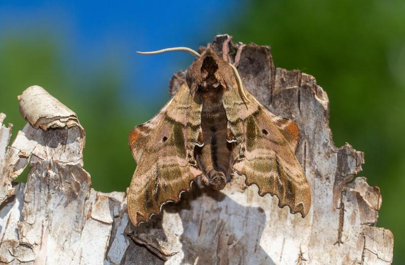Paonias excaecata Blinded Sphinx 7824 Family Sphingidae Subfamily Smerinthinae Skogstjarna Carlton County MN  IMG_0118.jpg