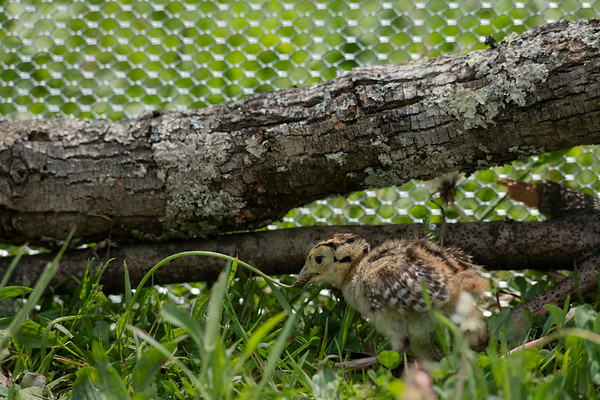 Ring-necked Pheasant chick wrestling with a dandelion weed