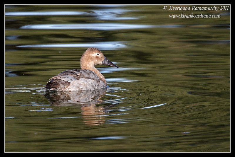 Canvasback duck, Santee Lakes, San Diego County, California, December 2011