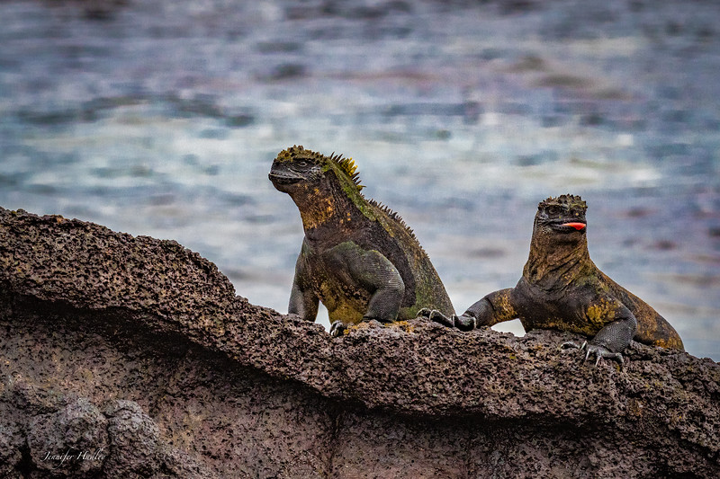 Two Iguanas on a Rock.jpg