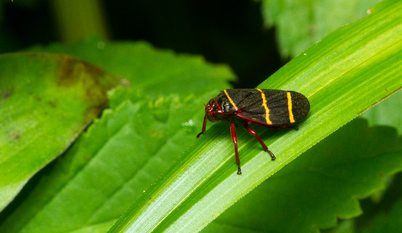 Spittlebug (Prosapia sp, most likely P. bicincta), from Monteverde, Costa Rica.