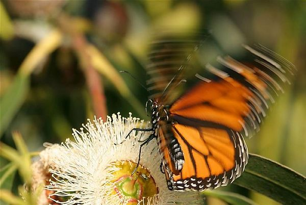 Monarch butterfly feeding on a eucaliptus flower, Santa Cruz, California.