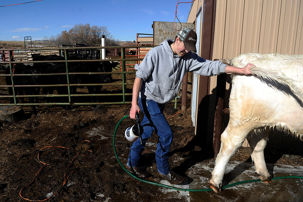 . CASTLE ROCK, CO - JANUARY 17: Destry Banister, 16, guides Lacy, a short horn cow, out of the mud while helping Rochelle Quinn prep the bovine for show at her home in Castle Rock, Colorado on January 17, 2014. Quinn will be showing her animals during the National Western Stock Show this weekend in Denver. (Photo by Seth McConnell/The Denver Post)