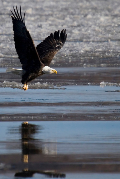 This image of a bald eagle was captured at the Mississippi River near Clarksville, Missouri