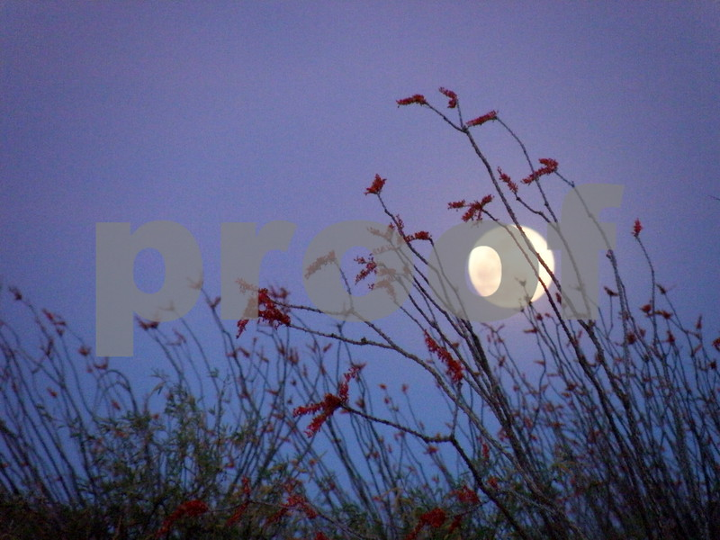 Full Moon Behind  the Ocotillo