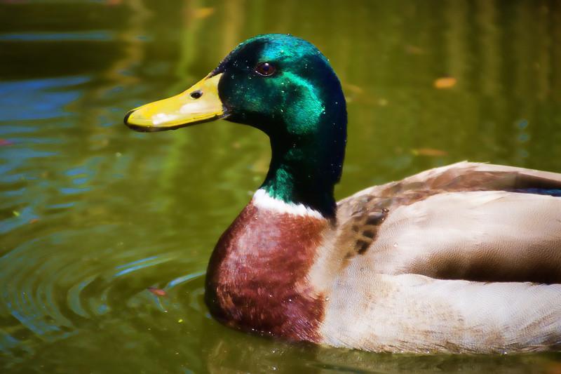apr 18 - duck.jpg