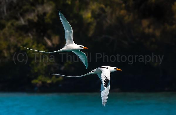 LONGTAILS Bermuda