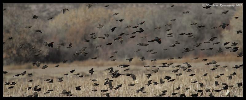 Red-winged Blackbirds in the corn fields, Bosque Del Apache, Socorro, New Mexico, November 2010