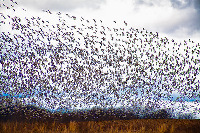 PA-Lancaster-Middle Creek-Snow Geese Migration Photos