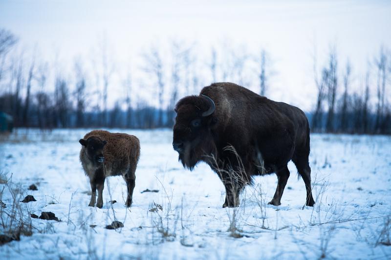 AHP171212_buffalo1383.jpg