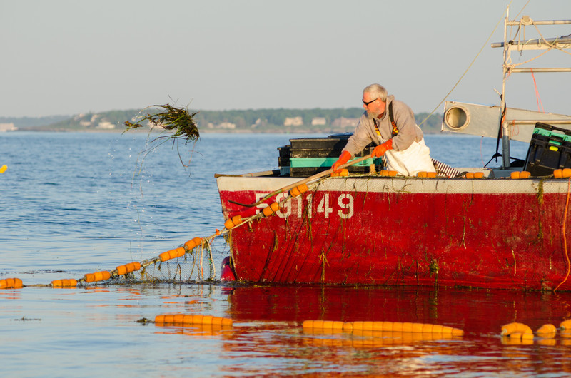 47.  Tending a weir, off Cape Elizabeth, Maine June 2013.