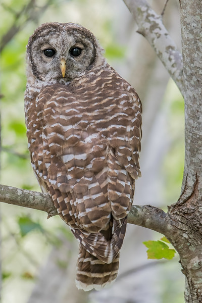 #652 Barred Owl
