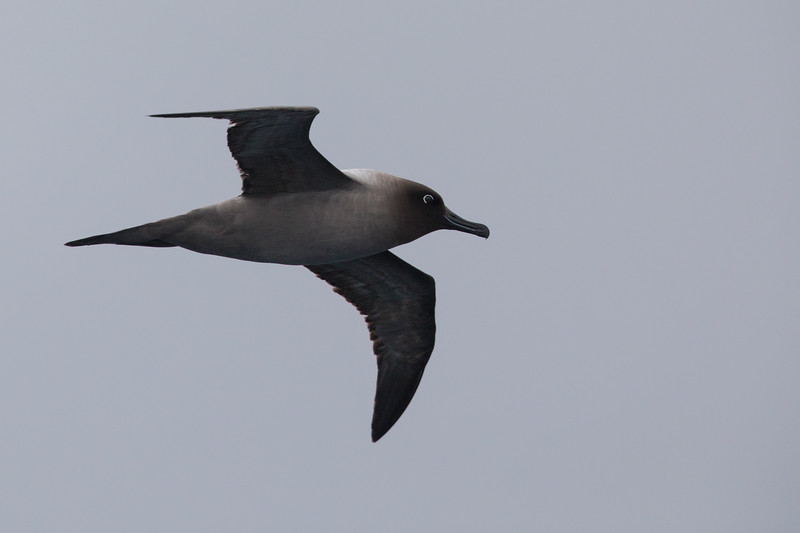 Sooty Albatross - Drake's Passage, Southern Ocean