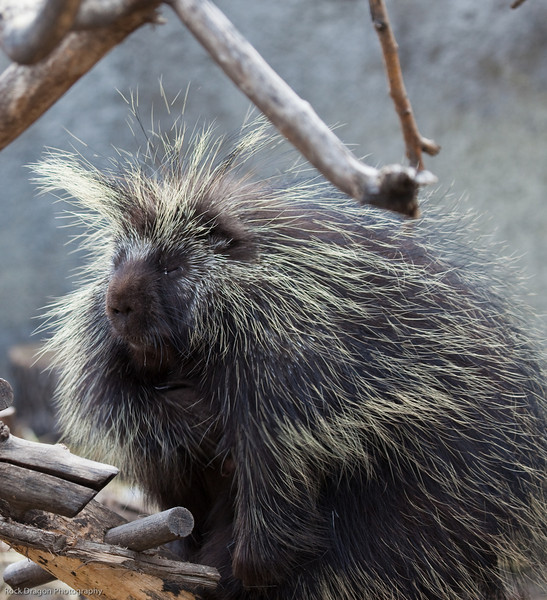 North American Porcupine, Calgary Zoo, April 26