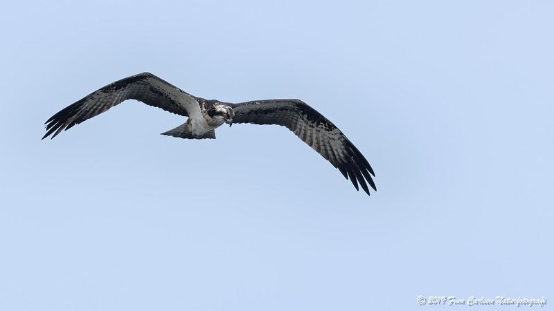 Fiskeørn - Pandion haliaetus - Osprey