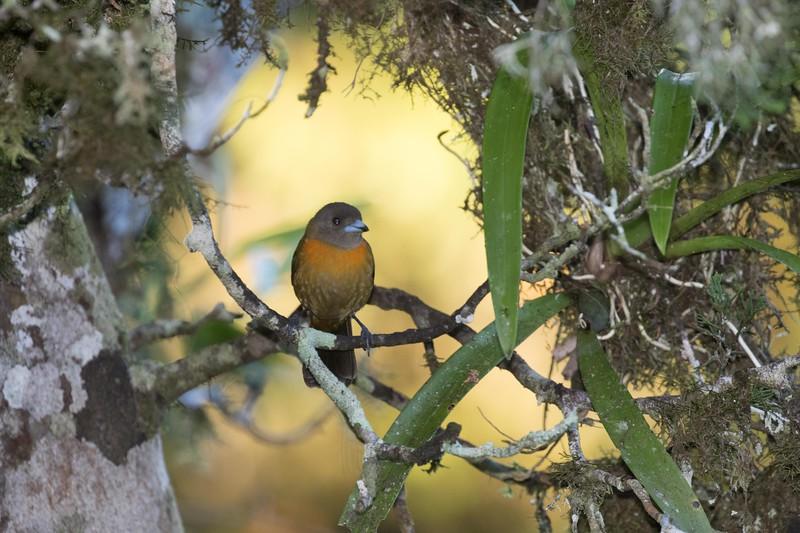 Cherrie's tanager, female
