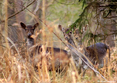 Deer Set 4
