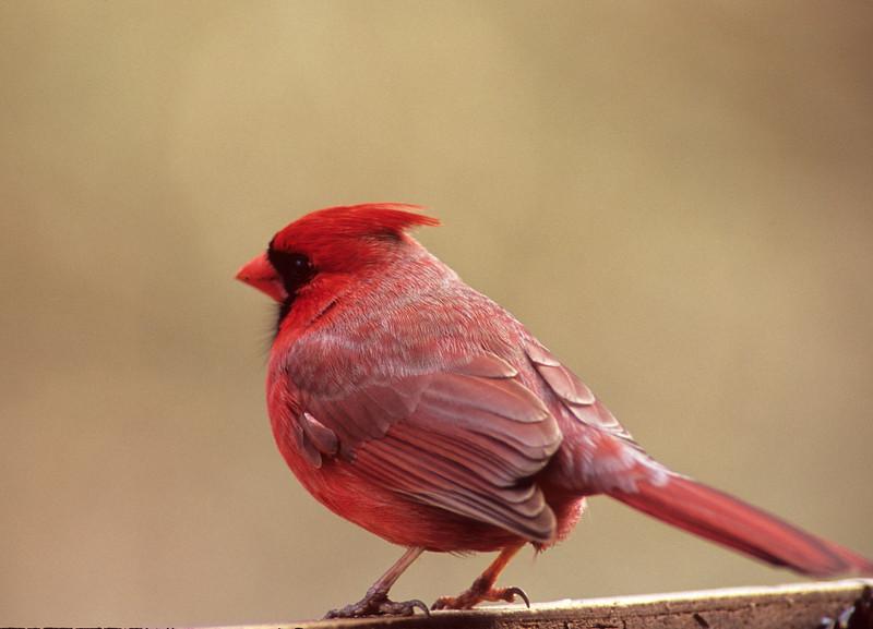 Northern Cardinal  From Burnett Woods in Cincinnati, OH