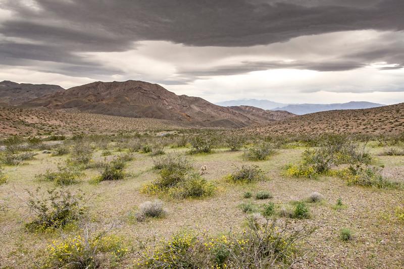 Death-Valley-flowers-Spring-Beatty-entrance-April2017.jpg