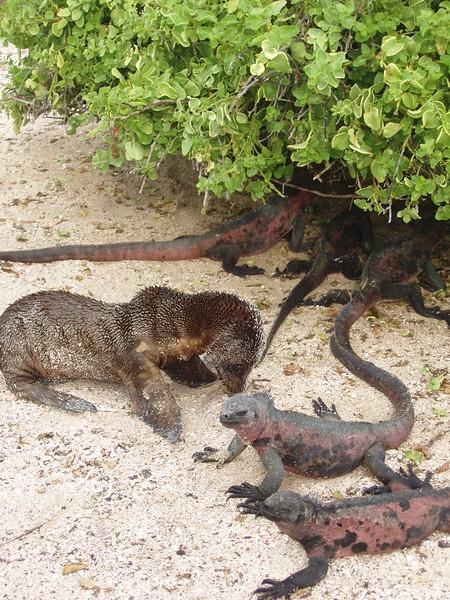 2007-02-19-0012-Galapagos with Hahns-Day 3, Espanola-Sea Lion-Marine Iguanas.JPG
