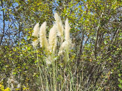Pampas Grass (Cortaderia jubata)