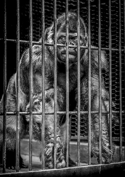 The dark days of zoo history when animals were caged.
