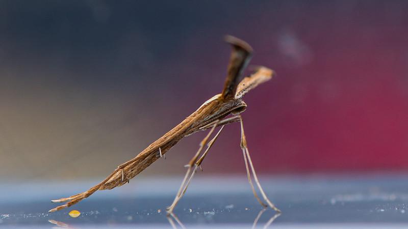 Morning-glory Plume Moth