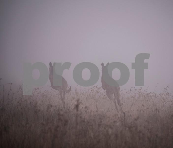 Foggy roos 1.jpg