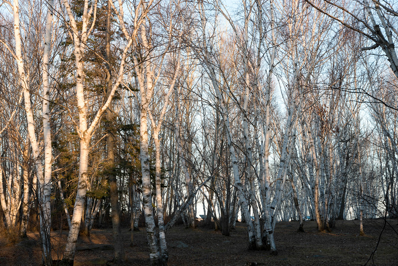 Trees in a forest, Hecla Grindstone Provincial Park, Manitoba, Canada
