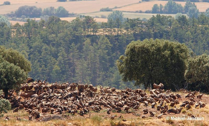 Gyps fulvus - Vale gier - Griffon Vulture - Buitre leonado